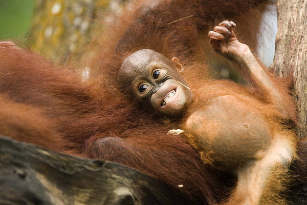 Two Animals Poster featuring the photograph Orangutan Pongo Pygmaeus. Juvenile by Tim Laman
