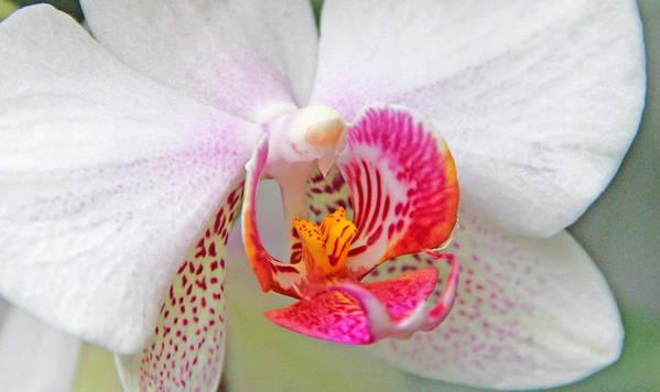 Becky Poster featuring the photograph Orchids 10 by Becky Lodes