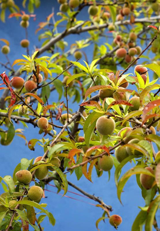 Organic Peach Tree, Poster by Pete Starman