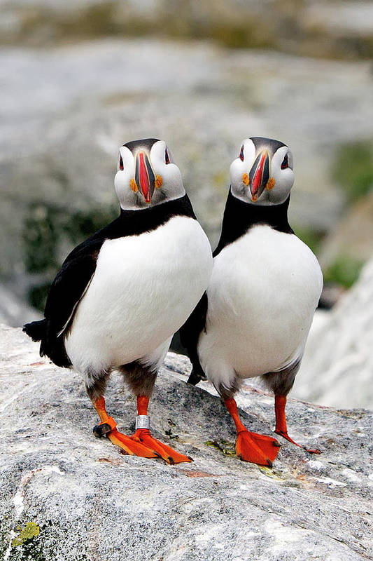 Vertical Poster featuring the photograph Pair Of Puffins by Betty Wiley