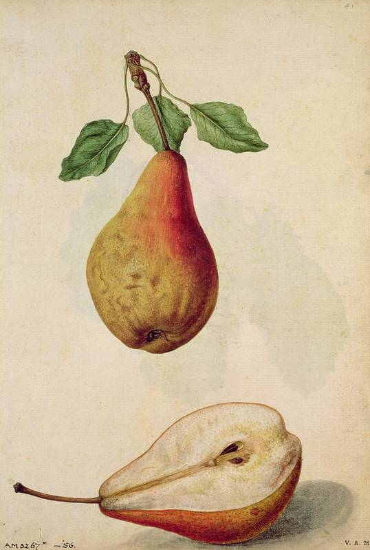 Still-life Poster featuring the painting Pear  Pyrus Communis by J le Moyne de Morgues