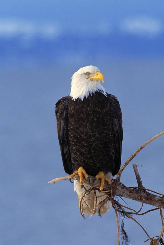 Animal Poster featuring the photograph Perched Bald Eagle by Natural Selection David Ponton