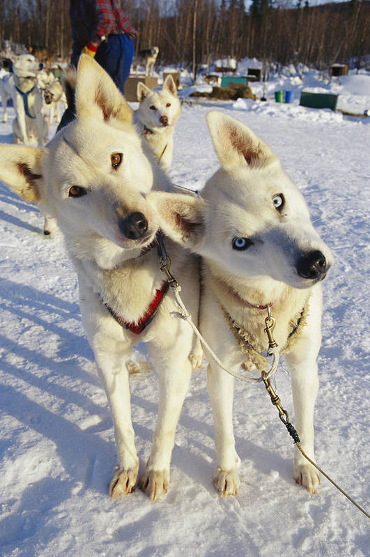 North America Poster featuring the photograph Portrait Of Two Husky Sled Dogs by Paul Nicklen