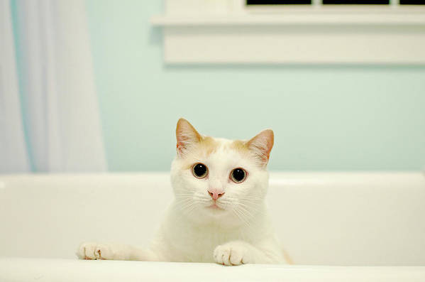 Horizontal Poster featuring the photograph Portrait Of White Cat by Melissa Ross