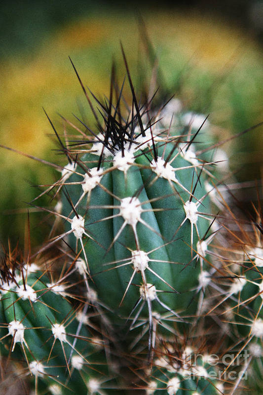 Cactus Poster featuring the photograph Prickly by Leslie Leda