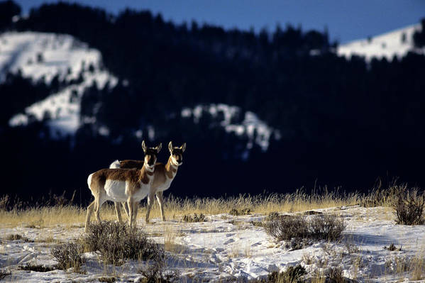 Horizontal Poster featuring the photograph Pronghorn (antilocarpa Americana) by Altrendo Nature