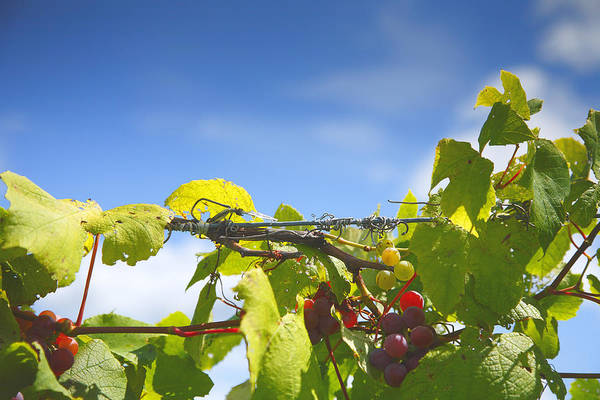 Vineyard Poster featuring the photograph Ripening On The Vines by Steven Ainsworth