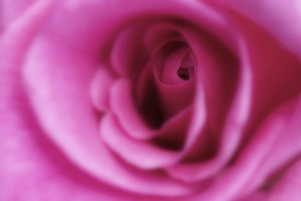 Flower Poster featuring the photograph Rose by Al Hurley