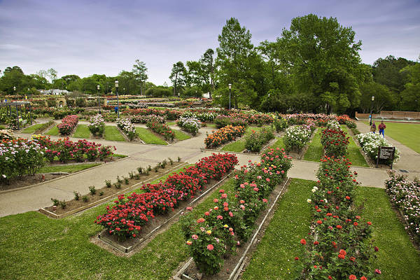 Roses Poster featuring the photograph Rose Garden Park by M K Miller