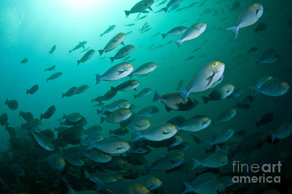 Surgeonfish Poster featuring the photograph School Of Yellow Masked Surgeonfish by Mathieu Meur