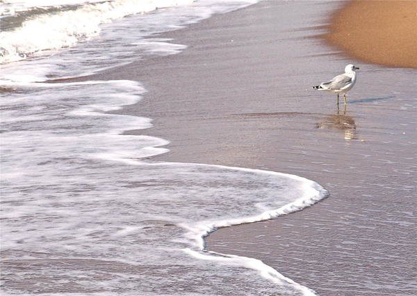 Sea Gull Walking On The Beach On A Hot Summer Day Poster featuring the photograph Sea Gull Reflection by Cindy Lee Longhini