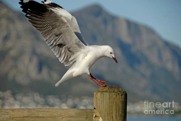Freedom Poster featuring the photograph Seagull Landing On Pole by Sami Sarkis