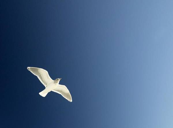 Bird Poster featuring the photograph Seagull Soaring by Con Tanasiuk