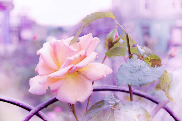Nature Poster featuring the photograph She Like The Ghost Beside Me. Scottish Rose by Jenny Rainbow