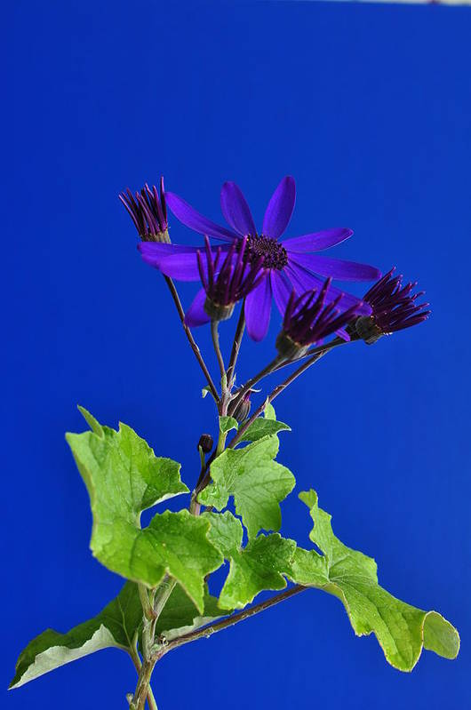 Senetti Poster featuring the photograph Shooting Stars by Pepper Link