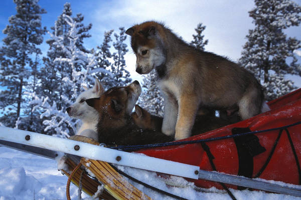 Outdoor Poster featuring the photograph Siberian Husky Puppies Play On A Snow by Nick Norman