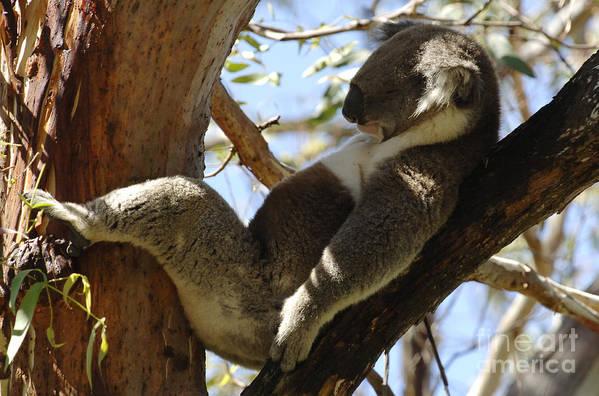 Koala Poster featuring the photograph Sleeping Koala by Bob Christopher