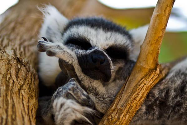 Cute Poster featuring the photograph Sleepy Lemur by Justin Albrecht
