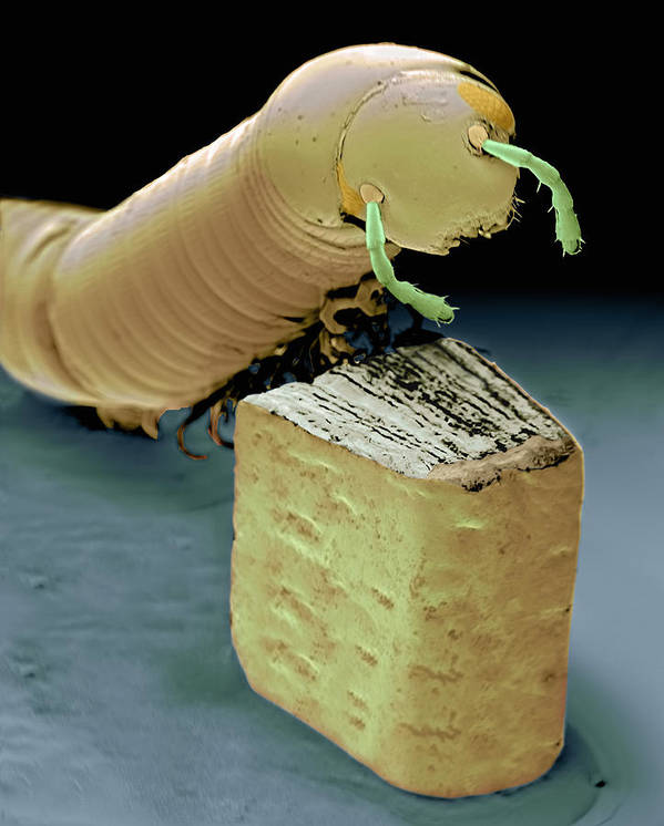 Sem Poster featuring the photograph Smallest Book And Millipede, Sem by Volker Steger