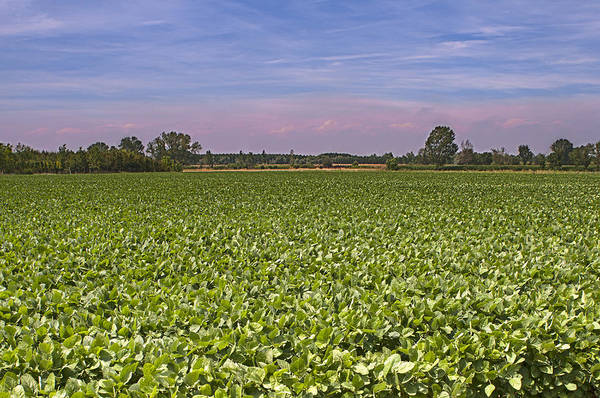 Horizontal Poster featuring the photograph Soybean Field by Paolo Negri
