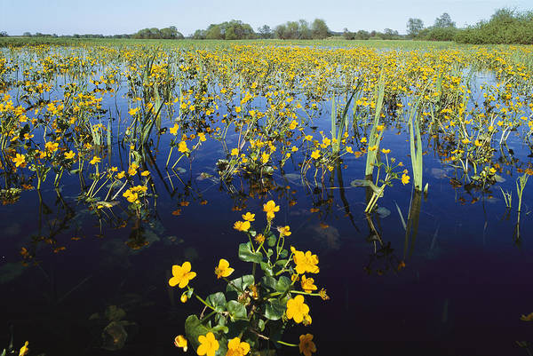 Europe Poster featuring the photograph Spring Flood Plains With Wildflowers by Norbert Rosing