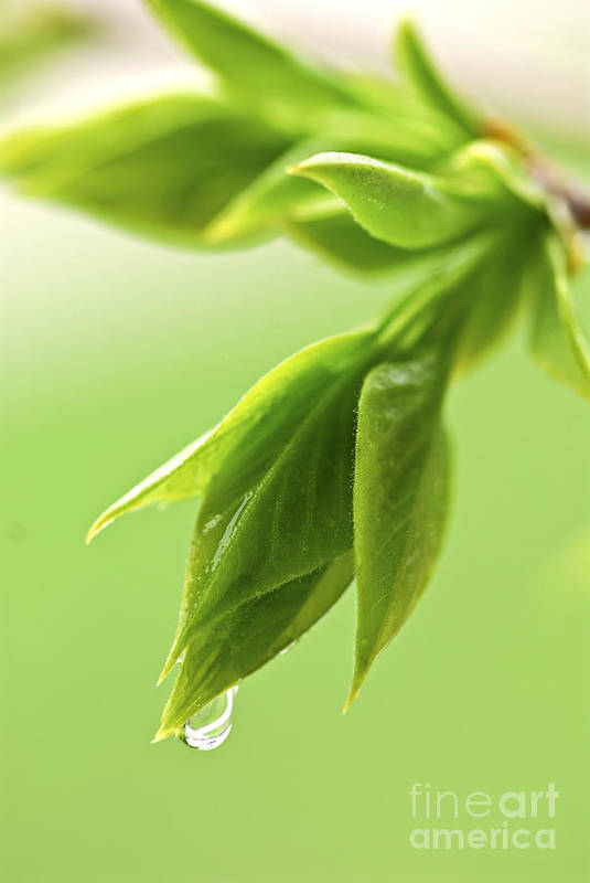 Spring Poster featuring the photograph Spring Green Leaves by Elena Elisseeva