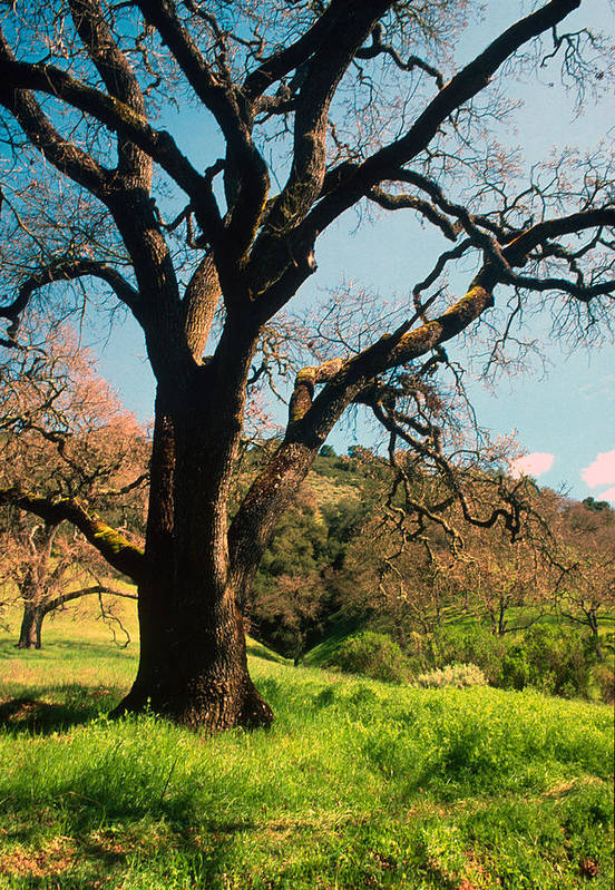 Landscapes Poster featuring the photograph Spring Oak by Kathy Yates