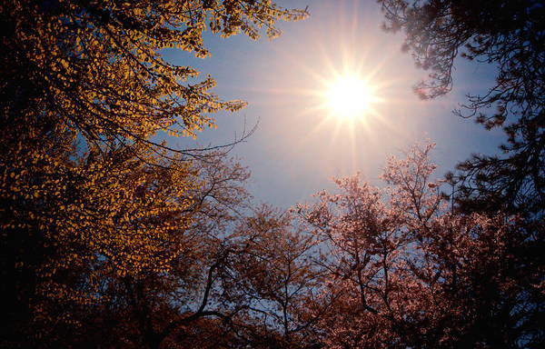 Spring Poster featuring the photograph Spring Sunlight Over Cherry Blossoms by Vivienne Gucwa