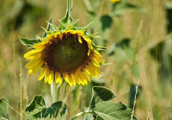 Sunflowers Poster featuring the photograph The Loner by Lisa Moore