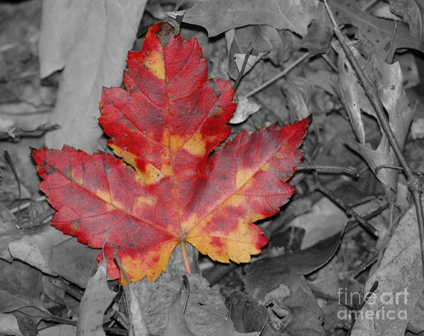 Fall Poster featuring the photograph The Red Leaf by Paul Ward