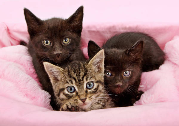 Kitten Poster featuring the photograph Threee Kittens In A Pink And White Basket by Susan Schmitz
