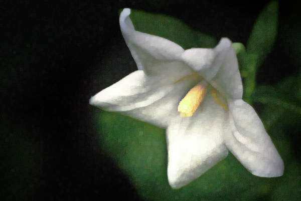 Balloon Flower Poster featuring the photograph White Balloon Flower-faux Painting by Onyonet Photo Studios
