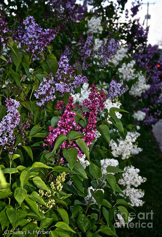 Lilacs Poster featuring the photograph Winning Color by Susan Herber