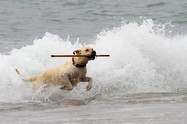 Labrador Retriever Poster featuring the photograph Yellow Lab Ocean Fetch by Renae Laughner