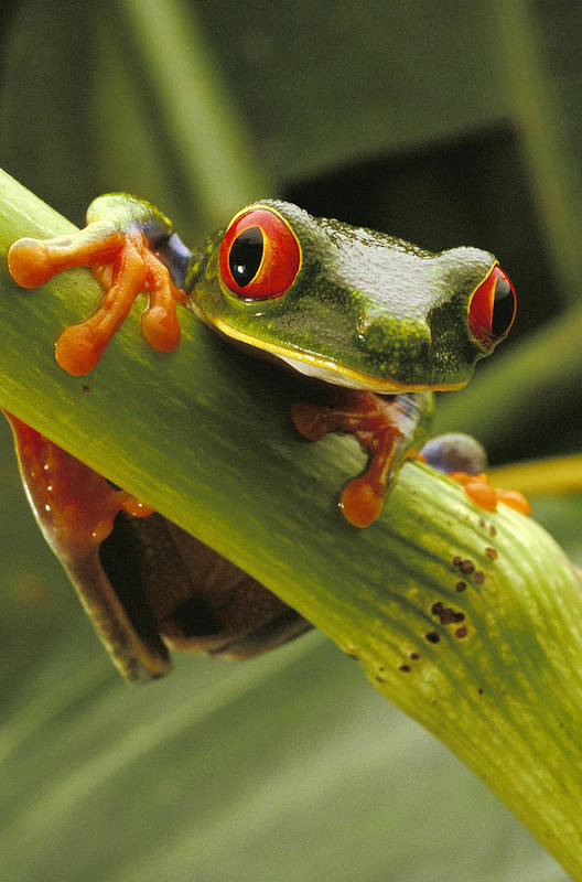 Red Eyed Tree Frogs Poster featuring the photograph A Red-eyed Tree Frog Agalychnis by Steve Winter