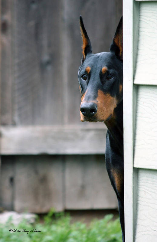 Doberman Poster featuring the photograph Attentive by Rita Kay Adams