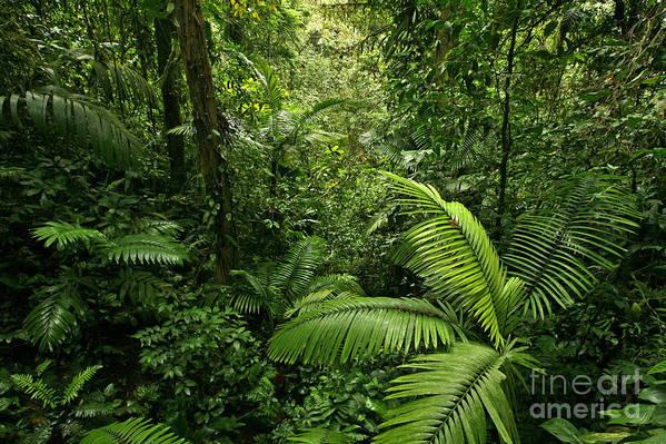 Rain Forest Poster featuring the photograph Dense Tropical Rain Forest by Matt Tilghman