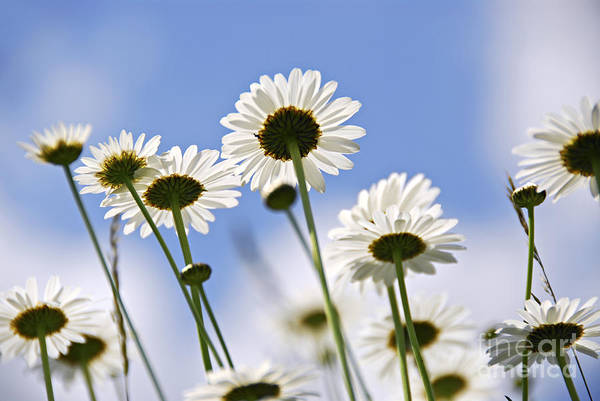 Daisy Poster featuring the photograph White Daisies by Elena Elisseeva