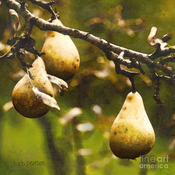 Pears Poster featuring the painting Fall Harvest by Barb Pearson