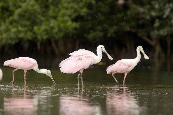 Three Animals Poster featuring the photograph Roseate Spoonbills Ajaia Ajaja Feed by Tim Laman