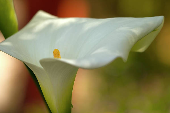 Calla Poster featuring the photograph White Calla by Heiko Koehrer-Wagner