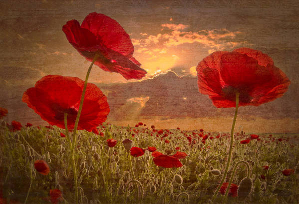 Appalachia Poster featuring the photograph A Poppy Kind Of Morning by Debra and Dave Vanderlaan