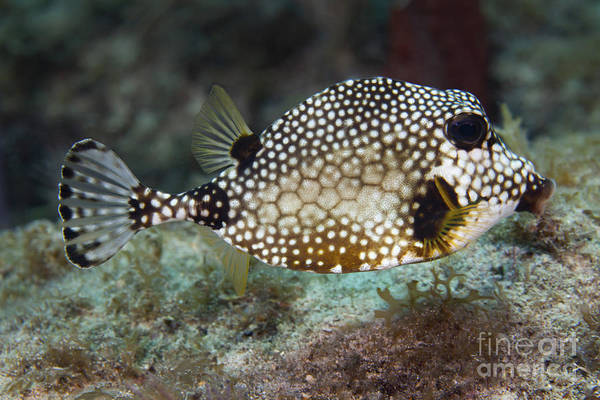 Sea Life Poster featuring the photograph A Spotted Trunkfish, Key Largo, Florida by Terry Moore
