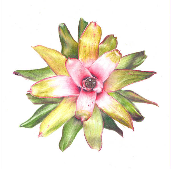 Bromeliad Poster featuring the painting Andrea's Choice by Penrith Goff