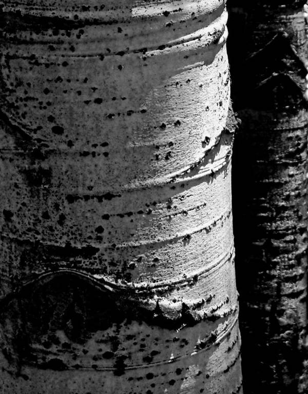 Aspen Poster featuring the photograph Aspen Abstract by The Forests Edge Photography - Diane Sandoval