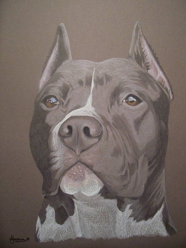 Pit Bull Poster featuring the drawing Axl by Stacey Jasmin