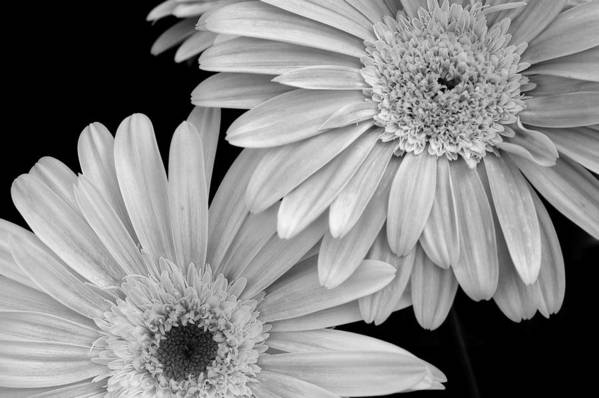 Flower Poster featuring the photograph Black And White Gerbera Daisies 1 by Amy Fose