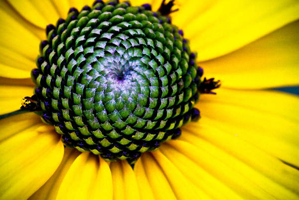 black Eyed Susan Poster featuring the photograph Black Eyed Susan Goldsturm Flower by Ryan Kelly