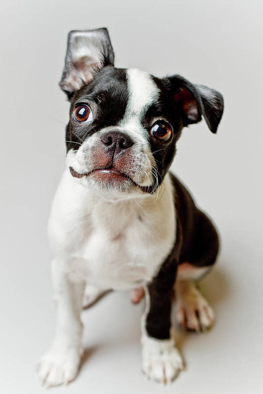 Vertical Poster featuring the photograph Boston Terrier Dog Puppy by Square Dog Photography