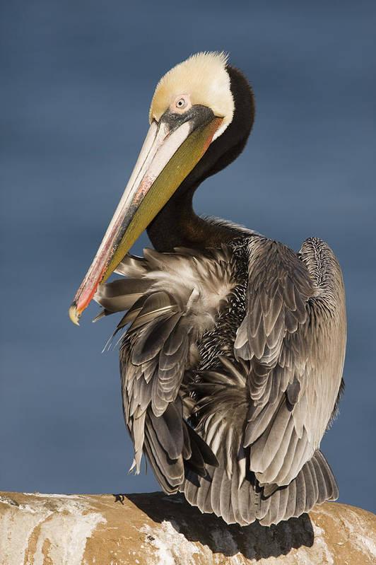 00465752 Poster featuring the photograph Brown Pelican Preening La Jolla by Sebastian Kennerknecht